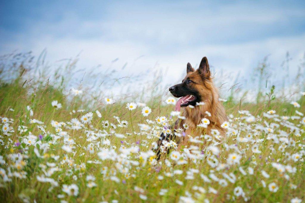 pollen allergie hunde