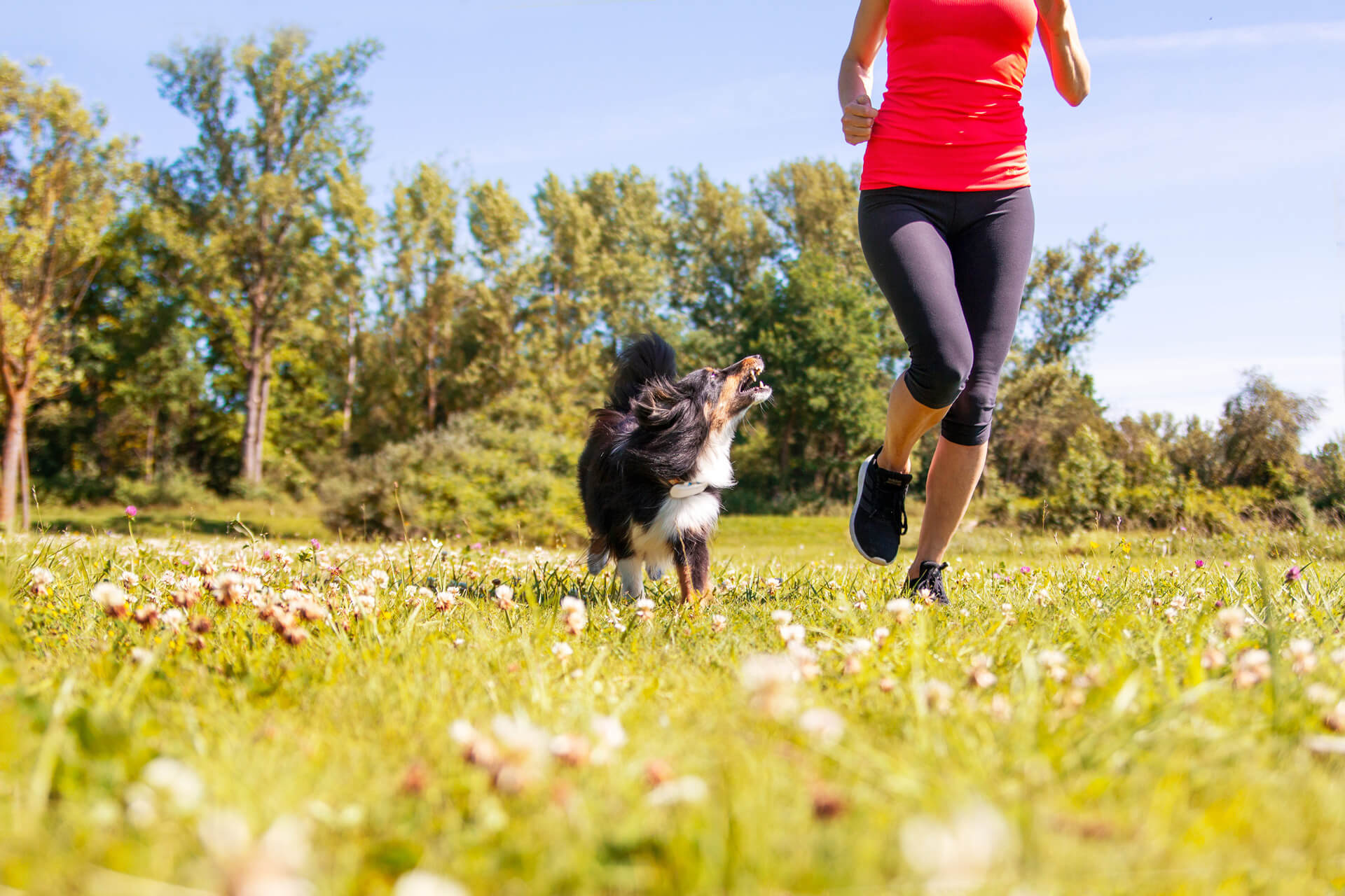 Woman running with a dog with GPS tracker in grass field outdoors