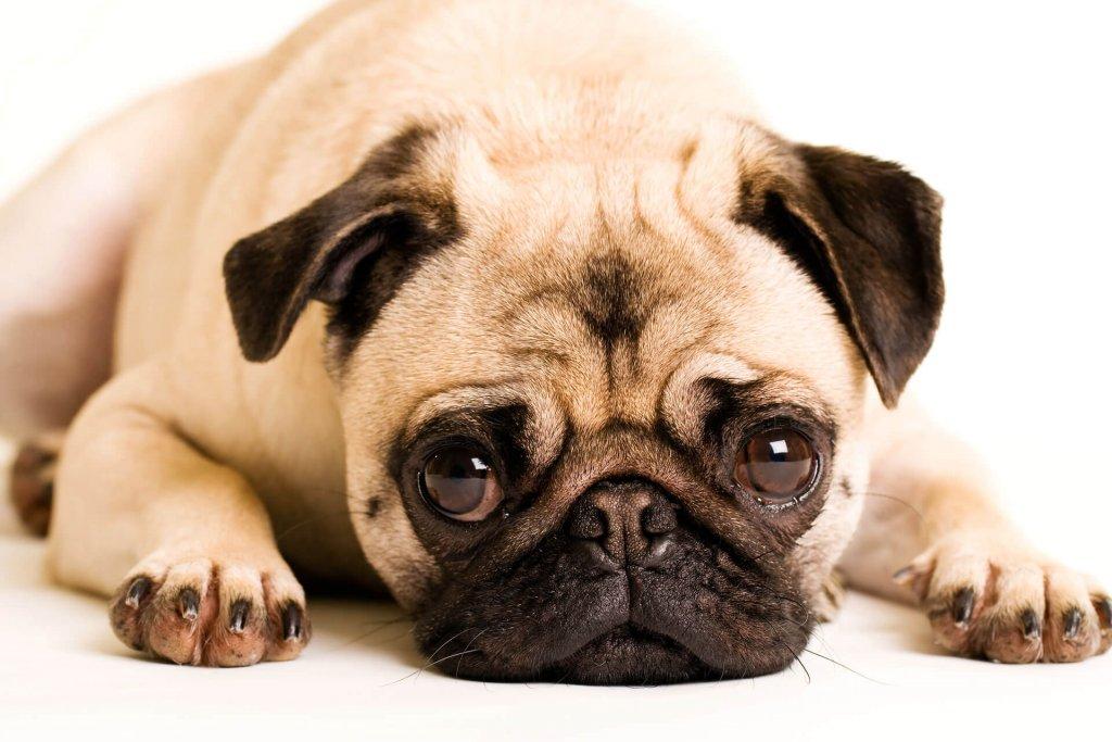 Überzüchtung Hund - die qualvollen Auswirkungen von überzüchteten Hunderassen