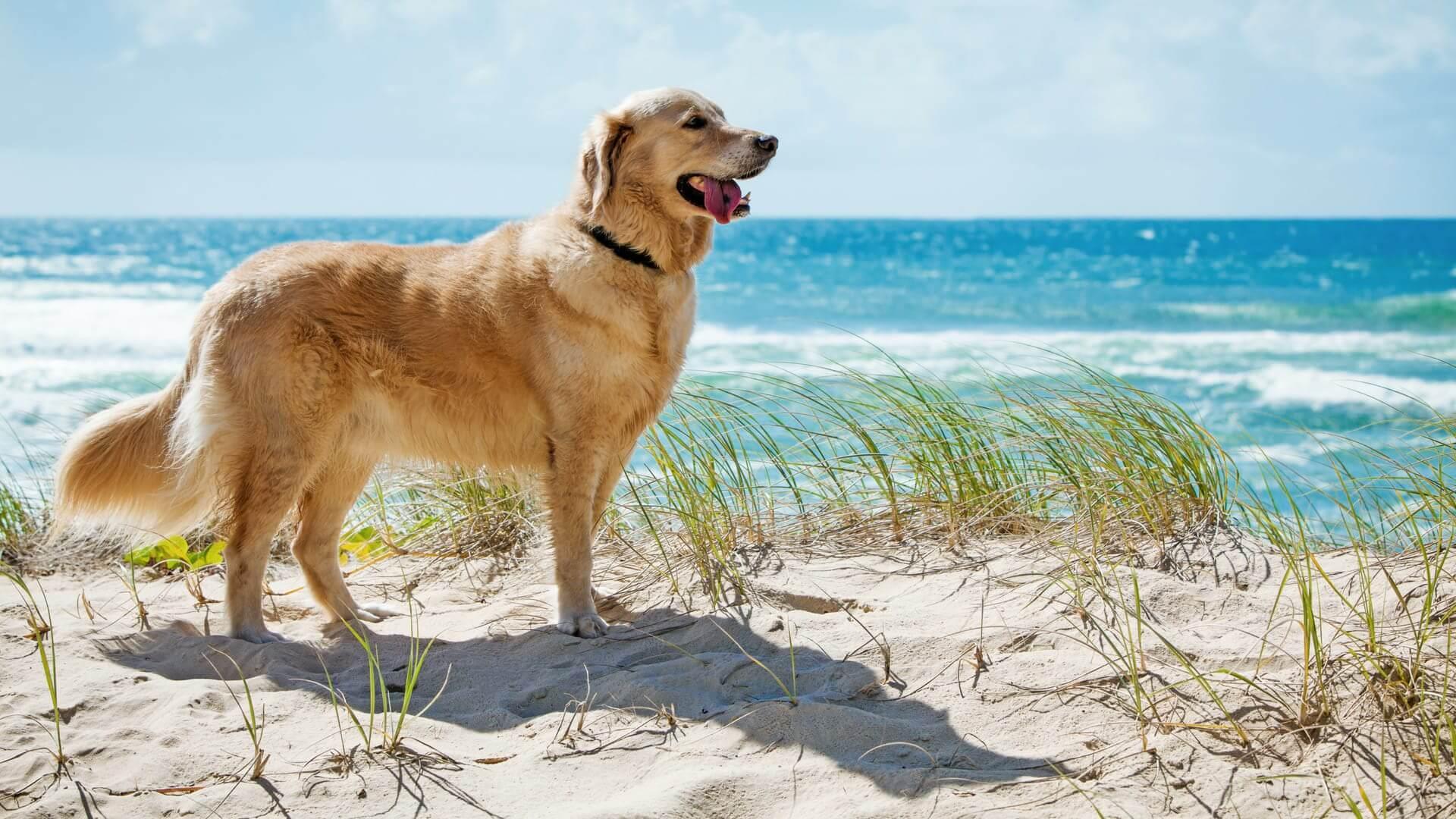 7 razas de perros que adoran el agua - Labrador o Golden retriever