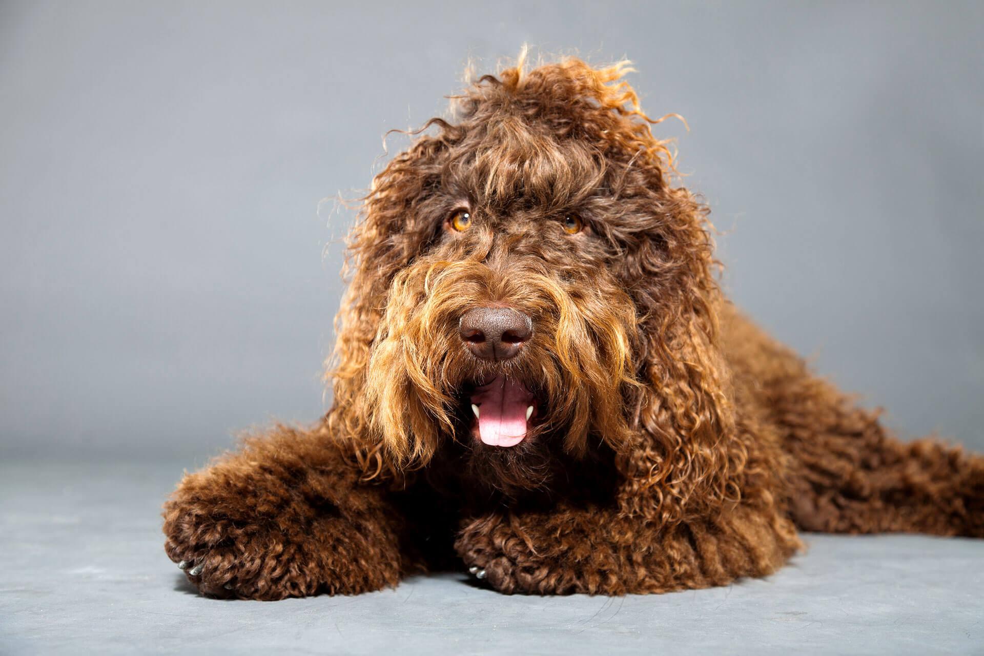 7 razas de perros que adoran el agua - Barbet, perro de agua francés