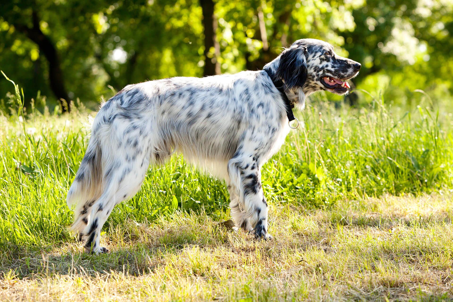 7 razas de perros que adoran el agua - Setter Inglés