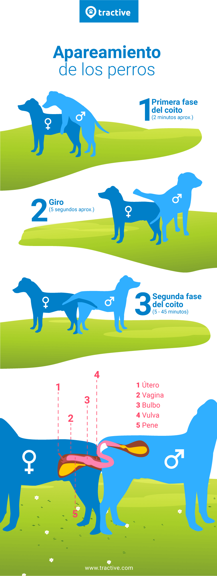 Esta infografía ilustra el acto sexual o apareamiento de los perros