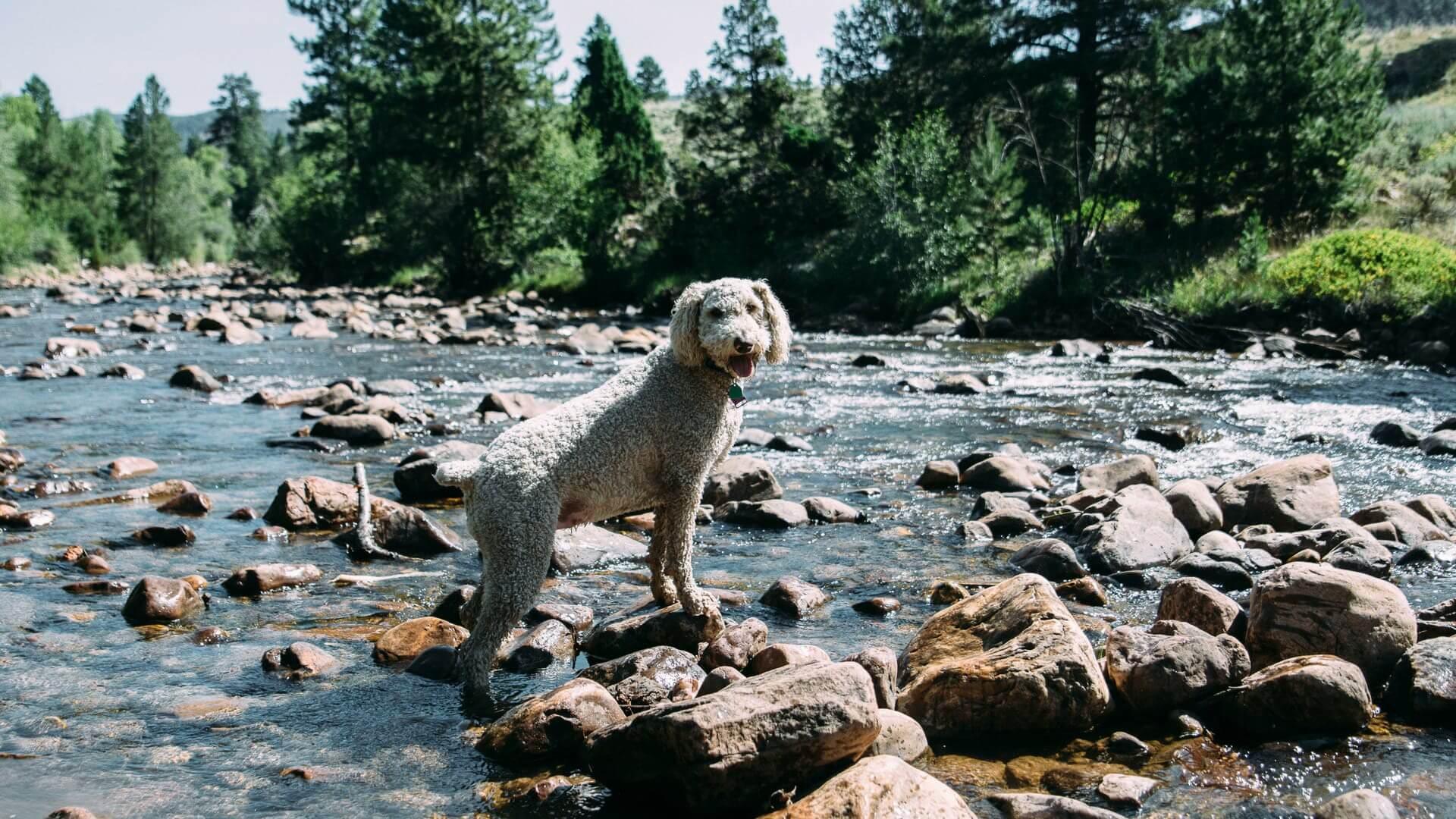 7 razas de perros que adoran el agua - El Caniche o French Poodle