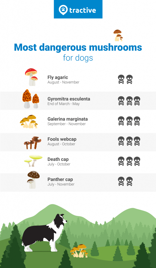 dogs eat mushrooms infographic with the most dangerous types