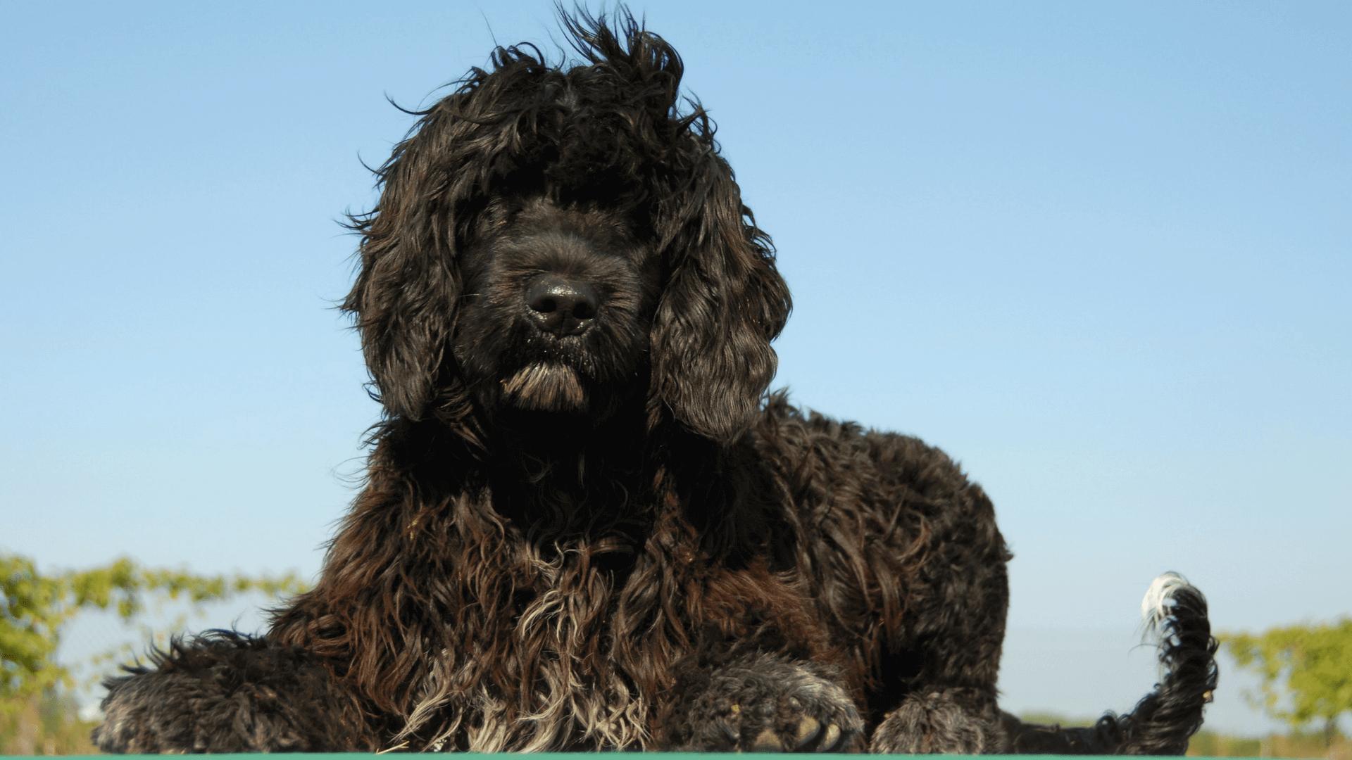 7 razas de perros que adoran el agua - Perro de agua portugués
