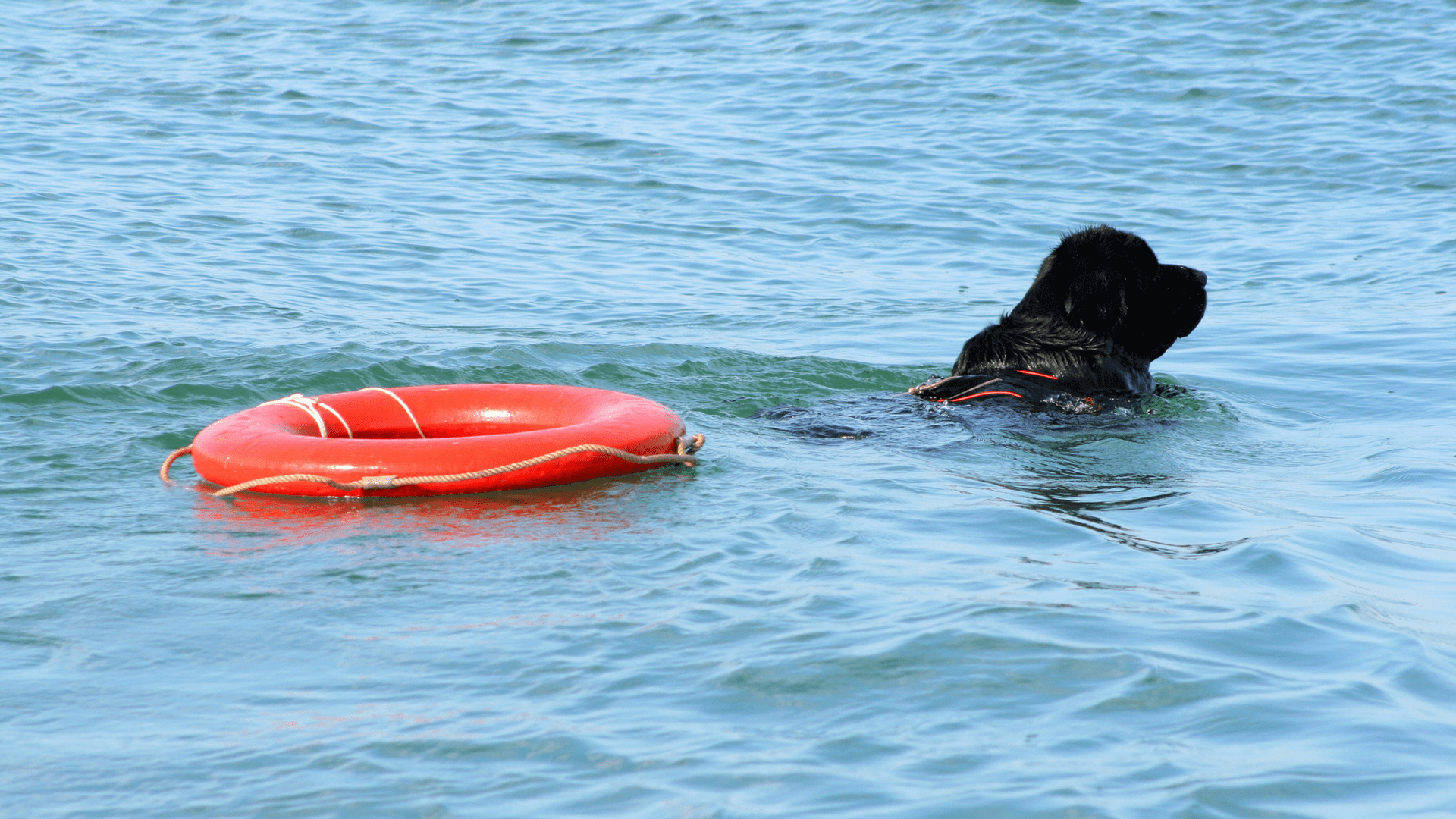 7 razas de perros que adoran el agua - Terranova