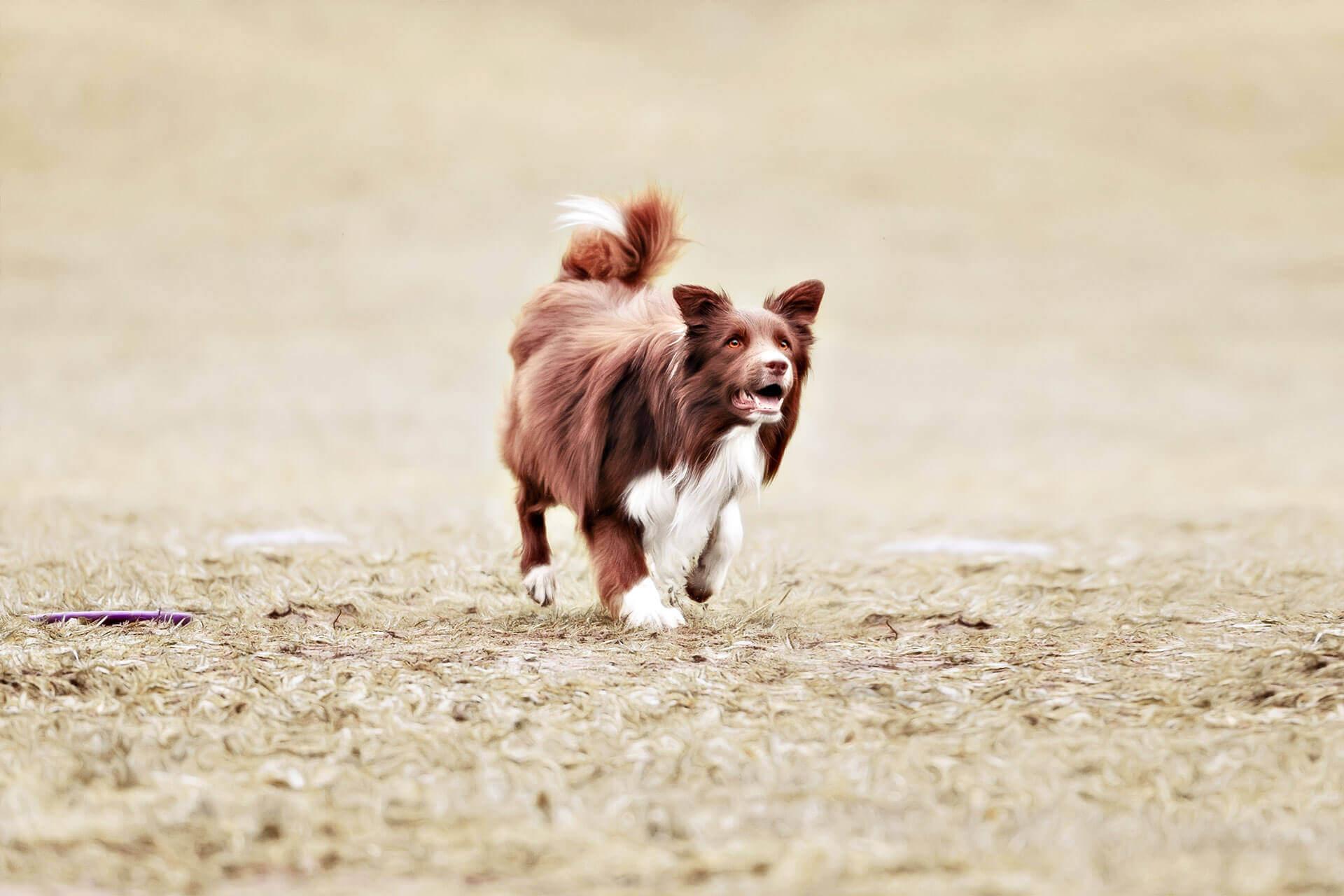 Hund läuft weg: der Jagdinstinkt ist einer der häufigsten Gründe für ein Davonlaufen