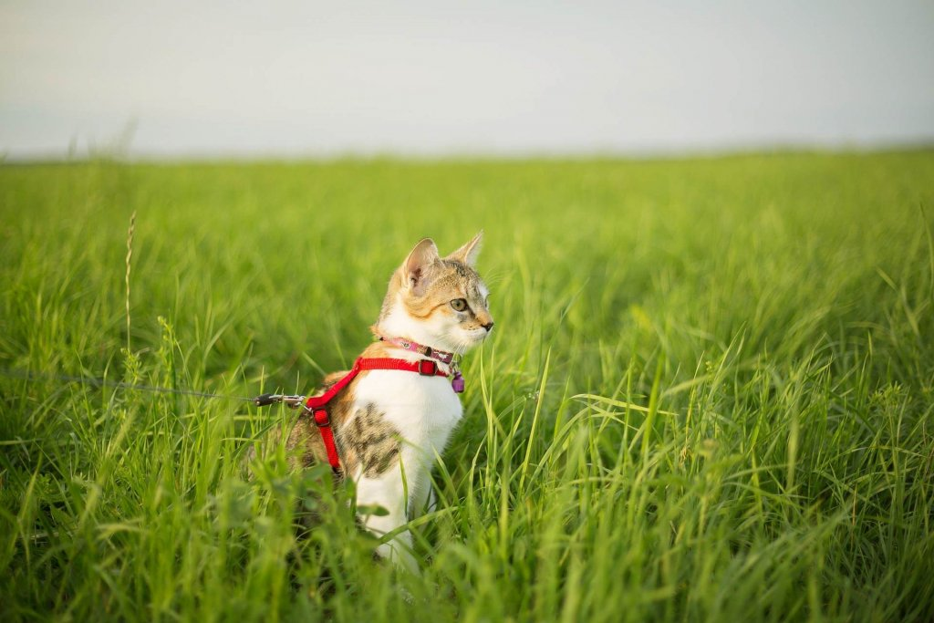 Katze an Geschirr gewöhnen: Eine schrittweise Anleitung
