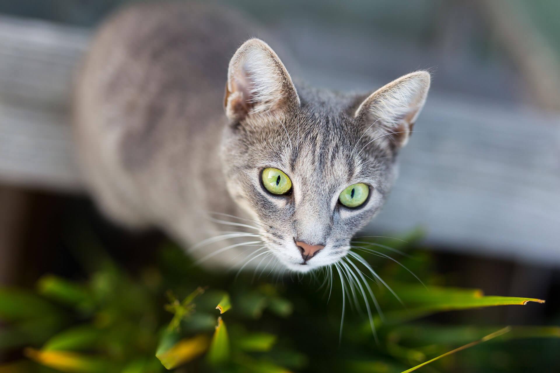 Katzen Orientierungssinn: Wie ausgeprägt ist dieser Sinn wirklich
