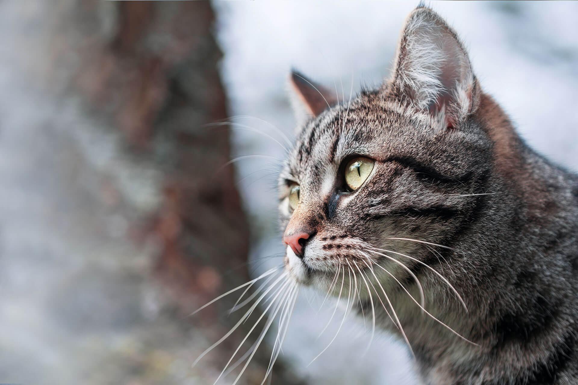 Wie lange bleiben Katzen weg und wie du sie wiederfindest