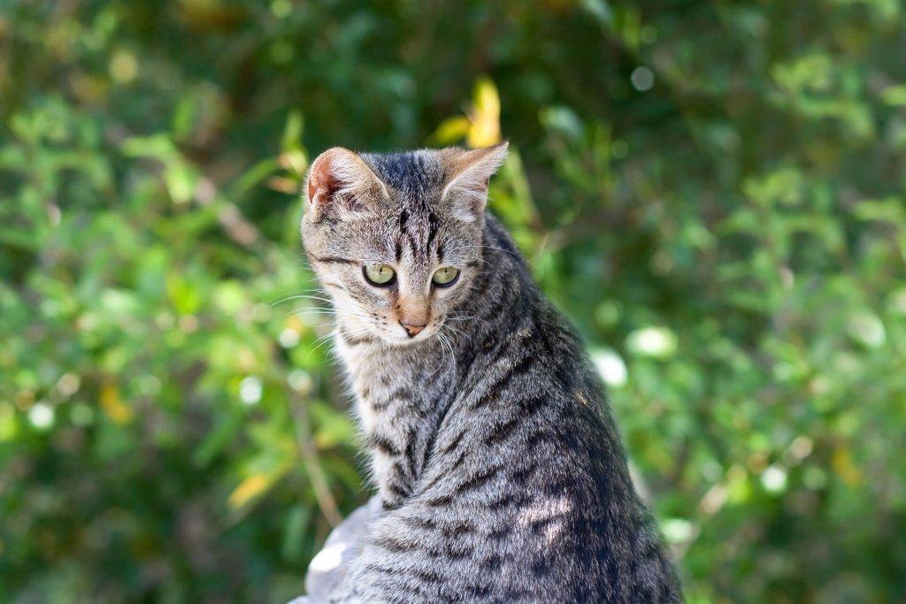 Wie lange kann eine Katze wegbleiben? Die Antwort wird dich verblüffen