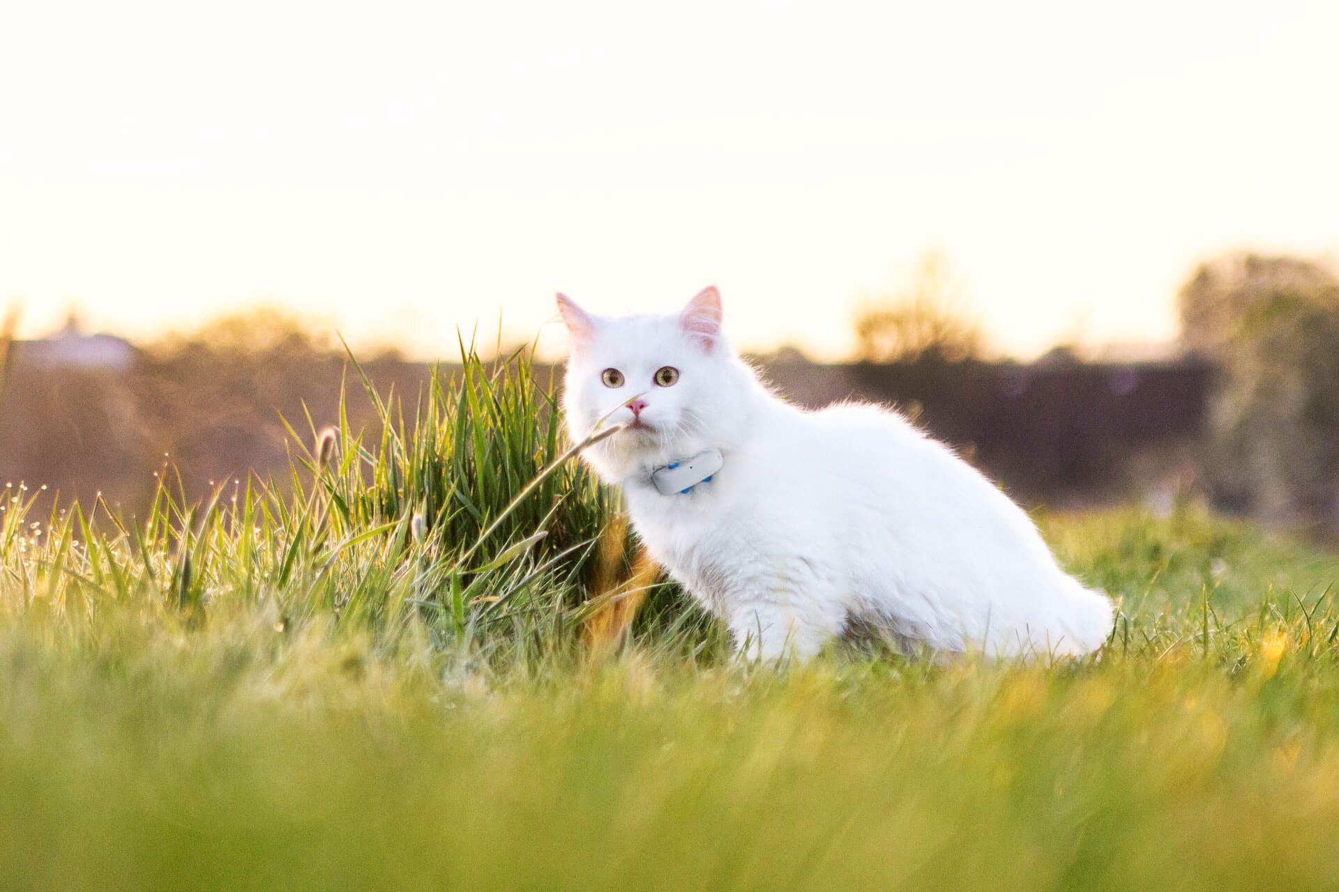 White cat wearing Tractive GPS CAT Tracker