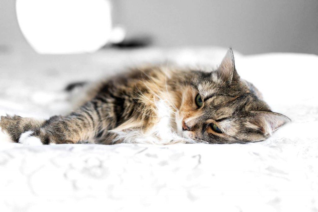 die-häufigsten-Katzenkrankheiten