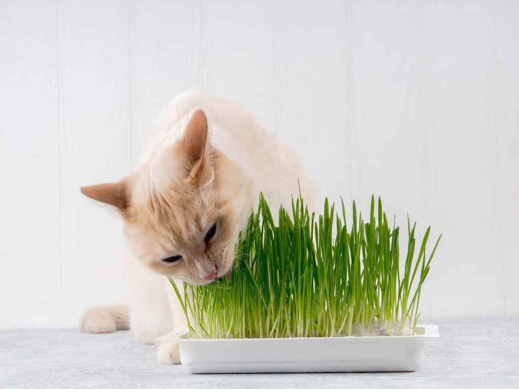 reasons why your cat is eating grass