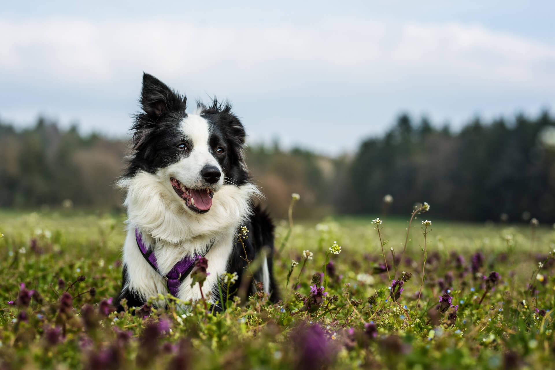 Border collie in un campo di erba e fiori