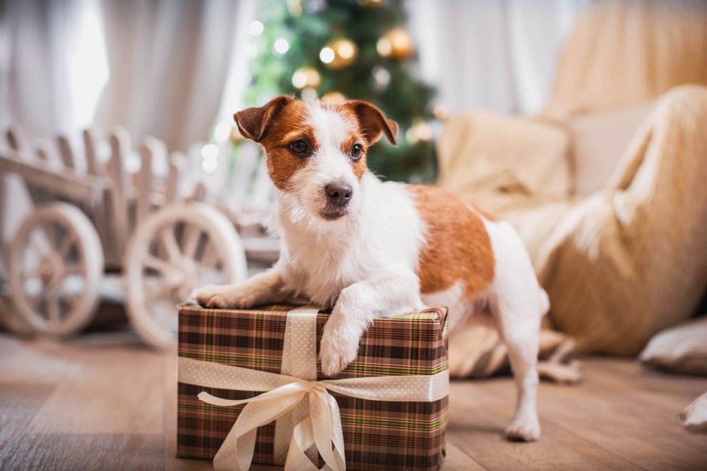 white and brown dog next to christmas present