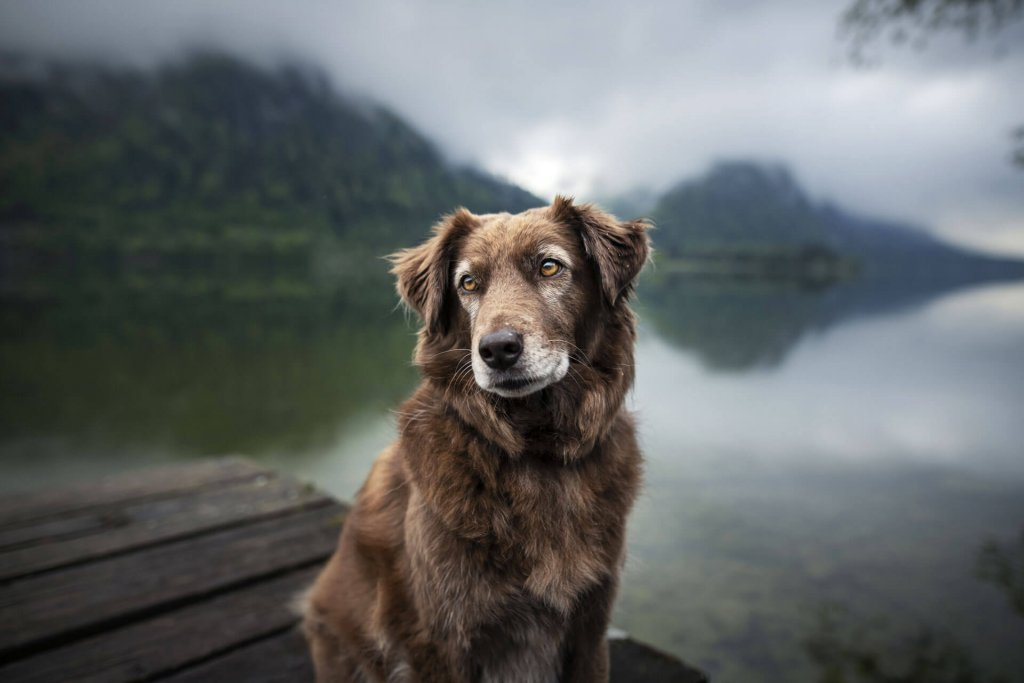 How to deal with panting, shaking and seizures in old dogs