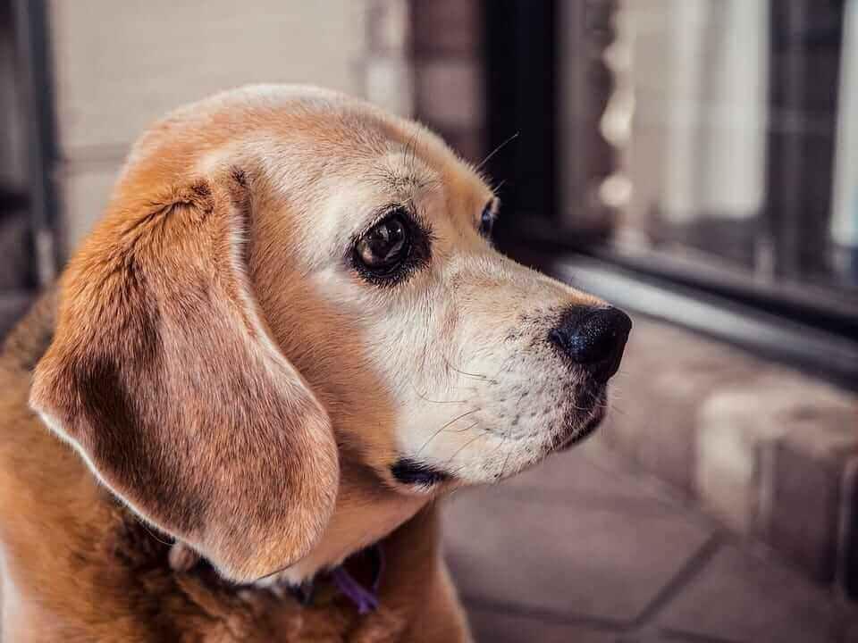 Älterer brauner Hund mit traurigem Blick