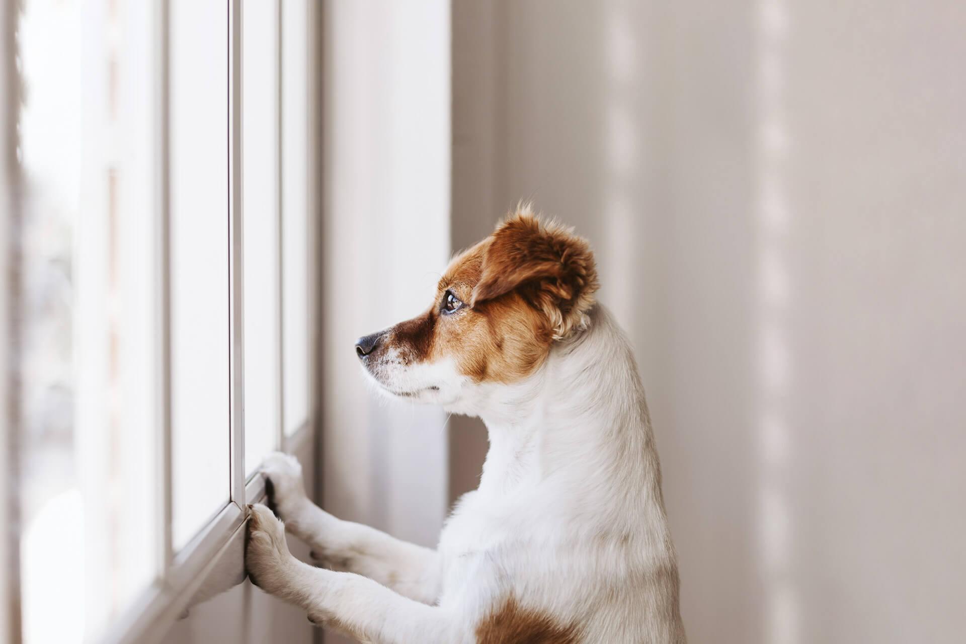 Braun-weiß gefleckter Hund blickt von innen aus dem Fenster