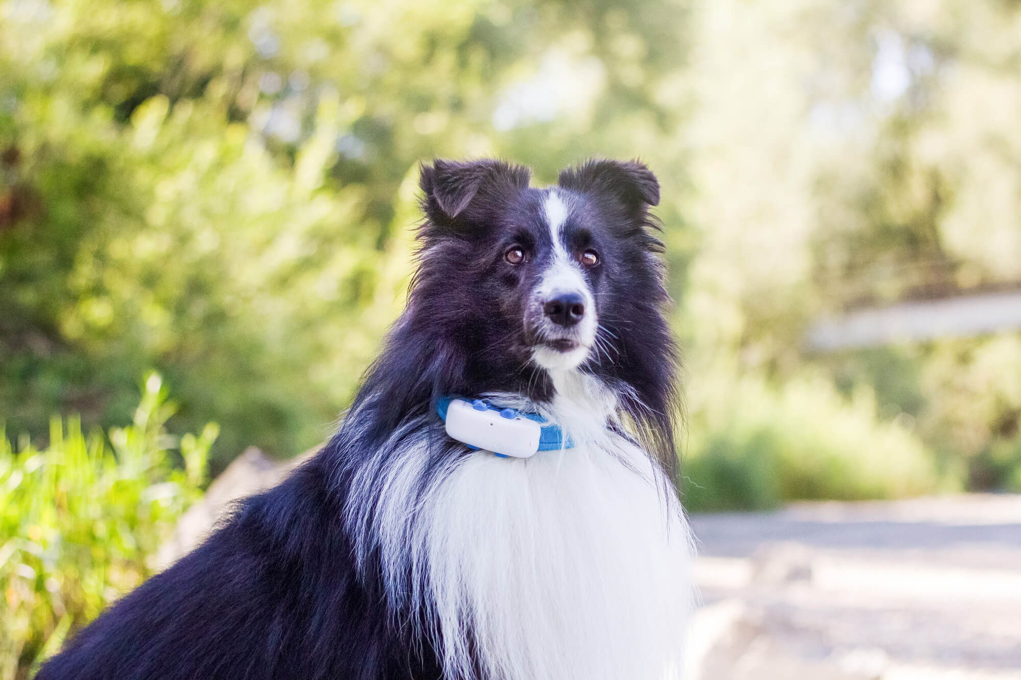white and black dog wearing GPS tracker outdoors
