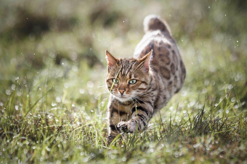 Katze läuft über eine sonnige Wiese