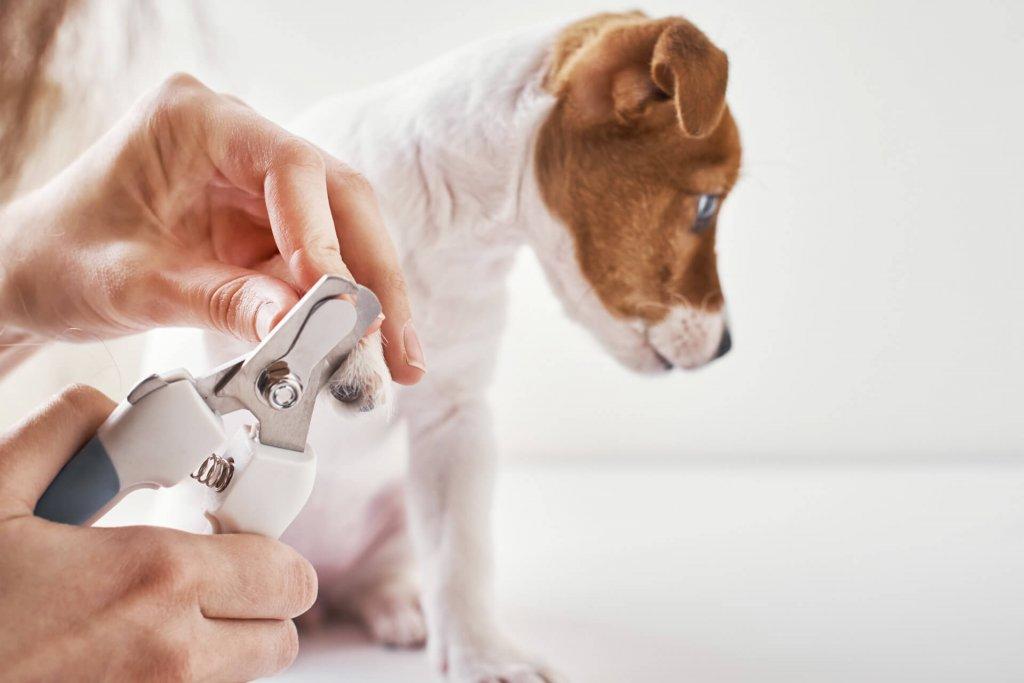 Junger braun-weißer Hund beim Krallenschneiden