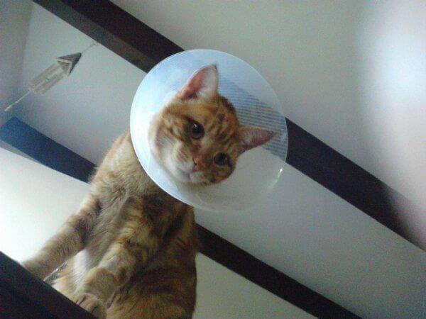 gatto dopo essere stato castrato