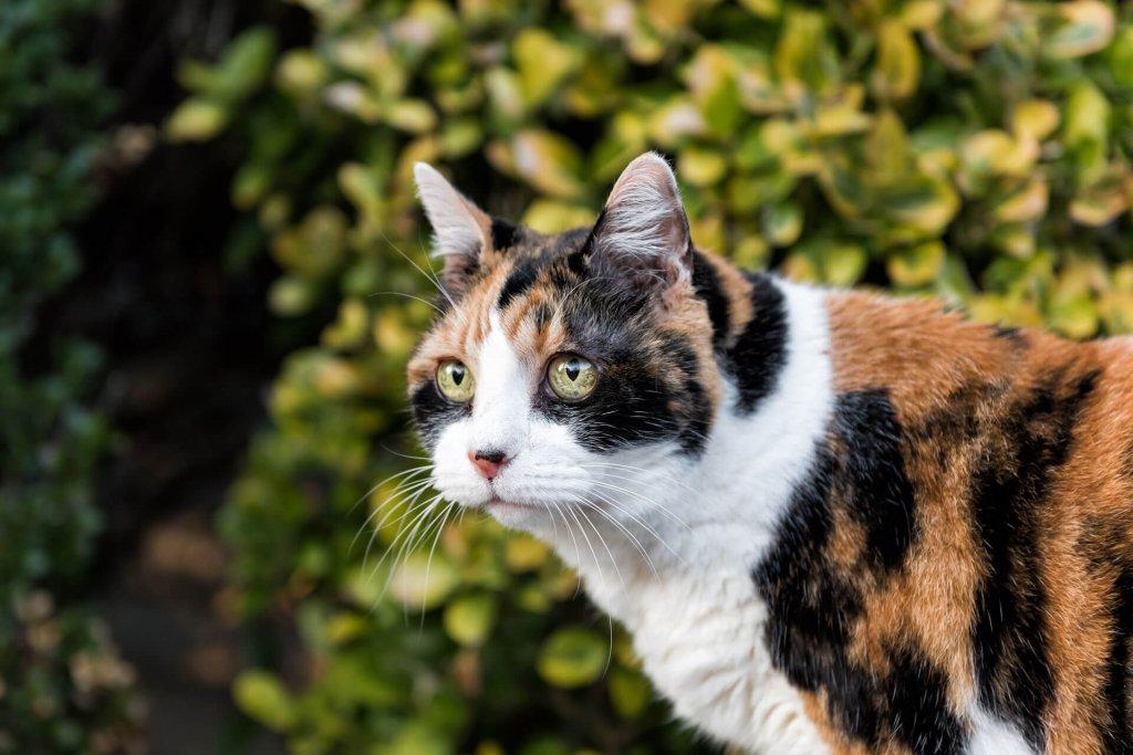 Dreifärbige Katze auf grünem Waldhintergrund