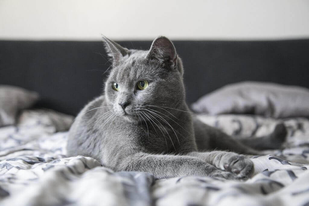 Grey cat not eating sitting on bed