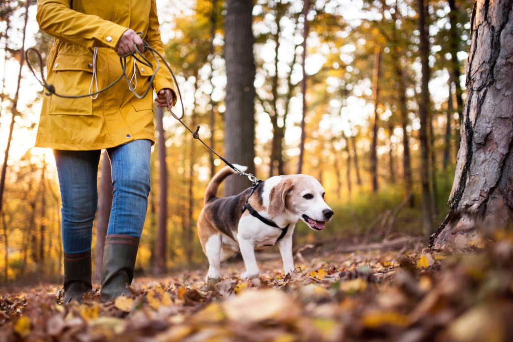 Woman in yellow coat and boots and small dog walking through forest in fall during coronavirus lockdown