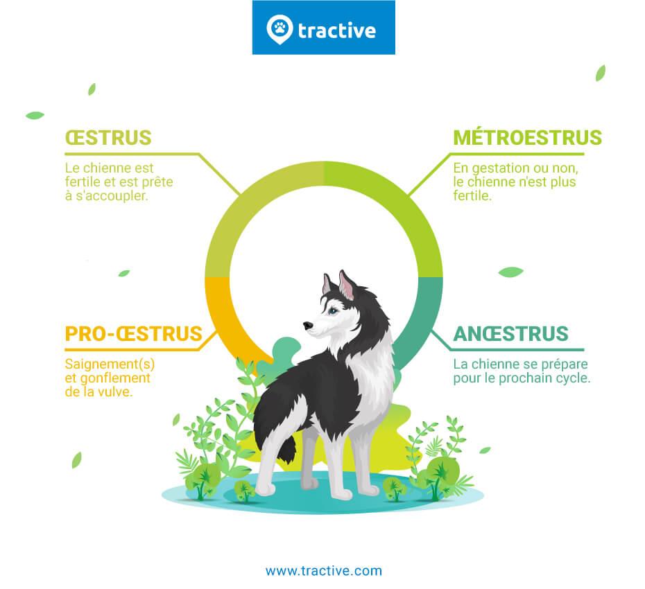 Les quatre phases du cycle sexuel de la chienne
