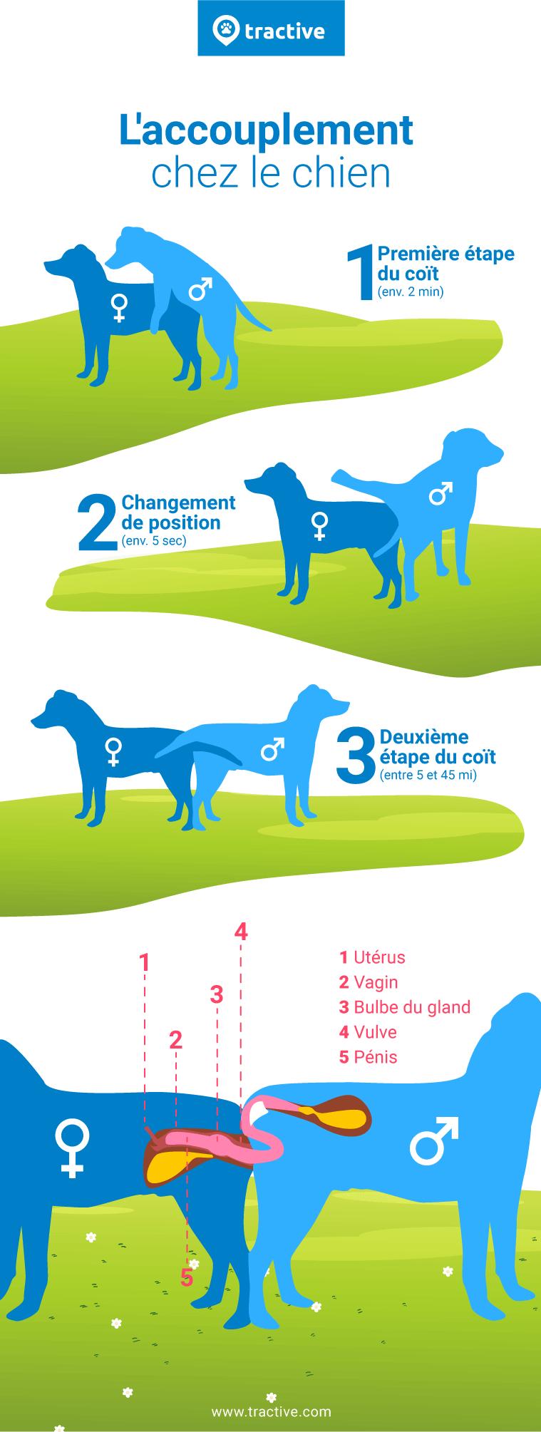 Infographie qui décrit l'accouplement chez le chien