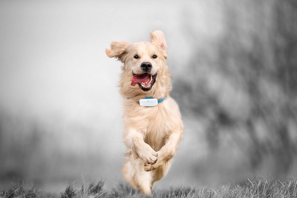 chien de race golden retriever qui court avec un GPS Tractive autour du cou
