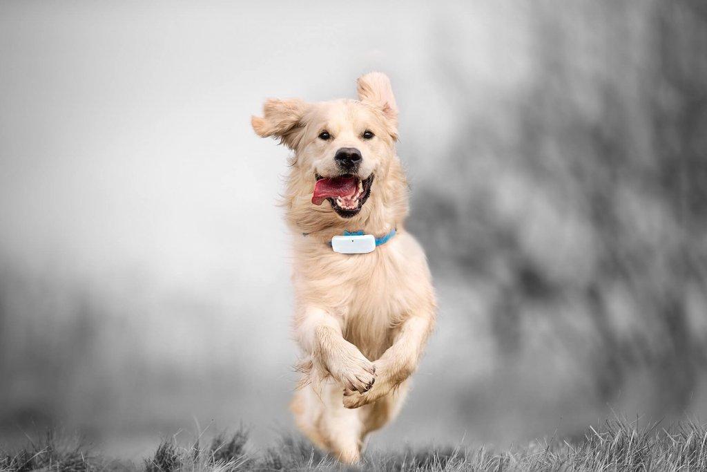 Golden Retriever mit Tracker und herausgestreckter Zunge beim Laufen