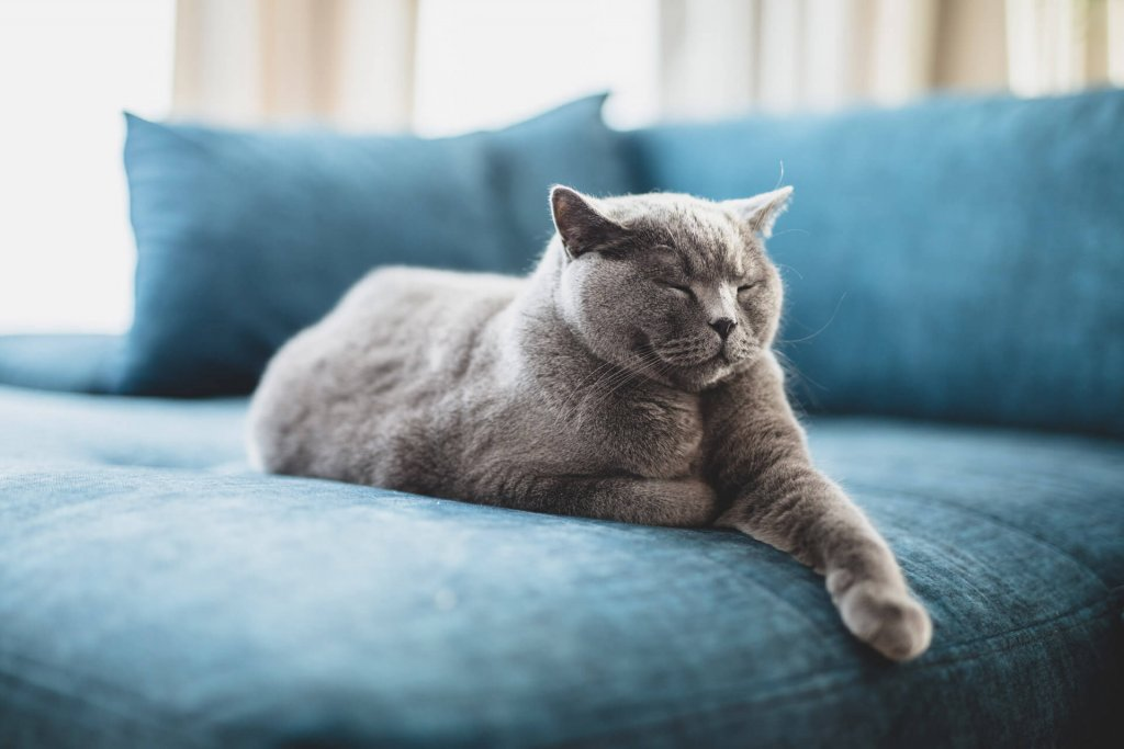 Grey cat sleeping on blue couch