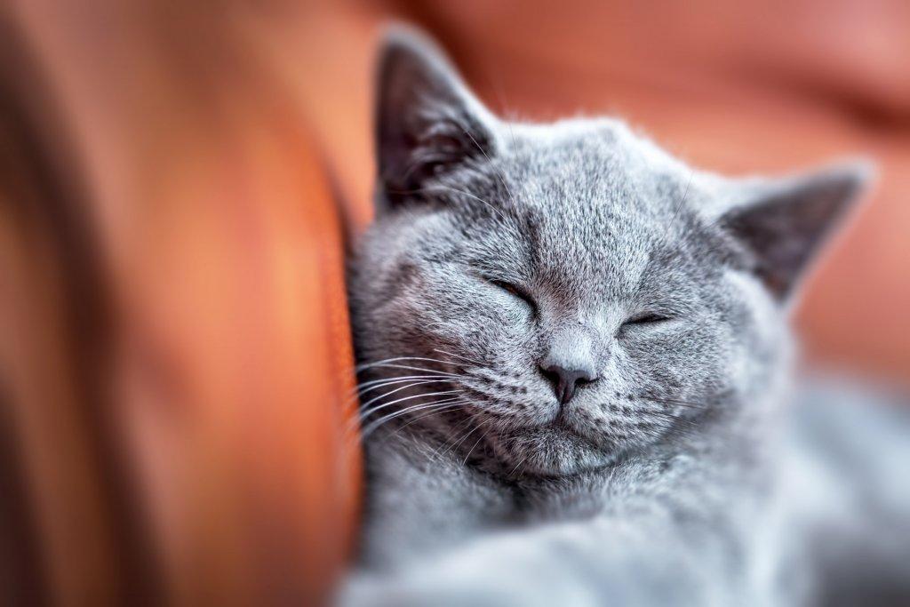 petit chat gris qui dort contre un canape marron