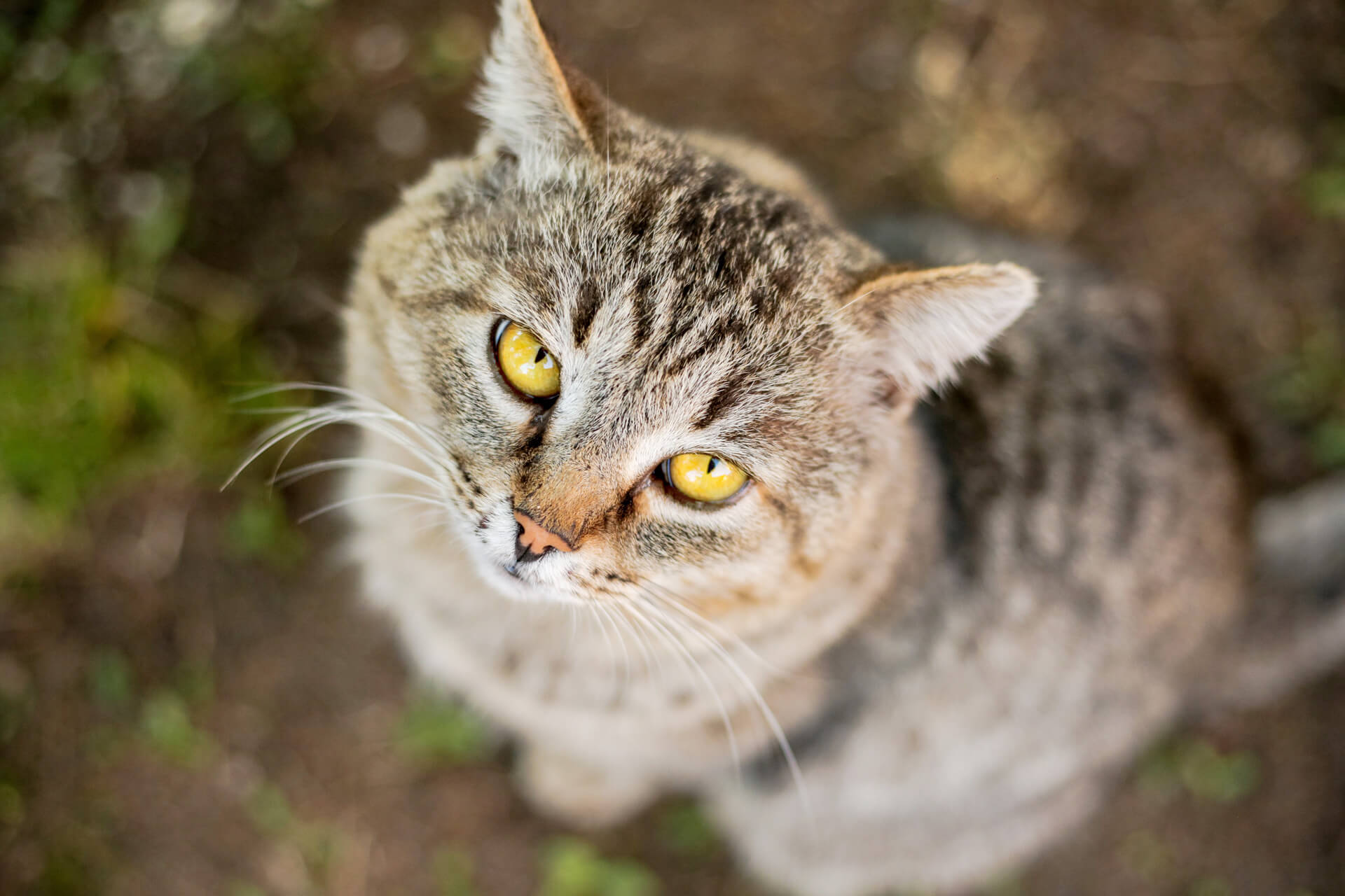 brown old cat with dementia and yellow eyes