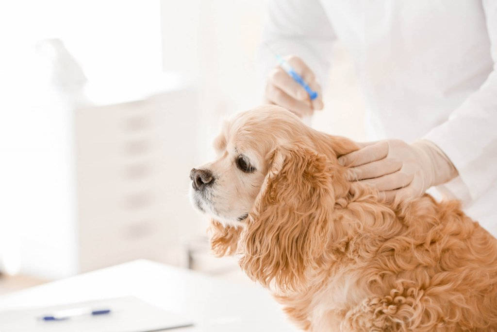 Brown dog at the vet getting chemical castration implant