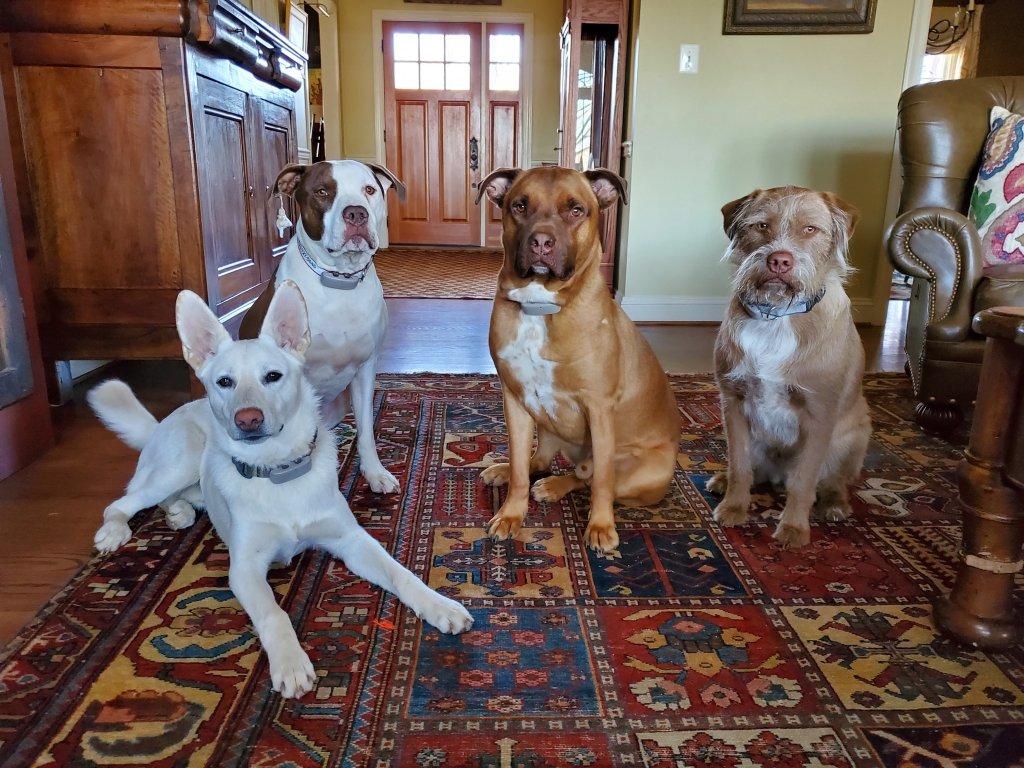 """Opie, le berger blanc et ses trois """"frères"""", assis dans le salon, tous portent des traceurs GPS Tractive."""