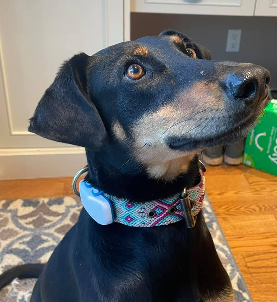 DIBS rescue dog wearing Tractive GPS dog tracker on collar