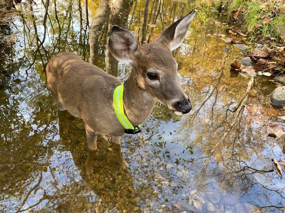 Buckaroo the rescue fawn outside