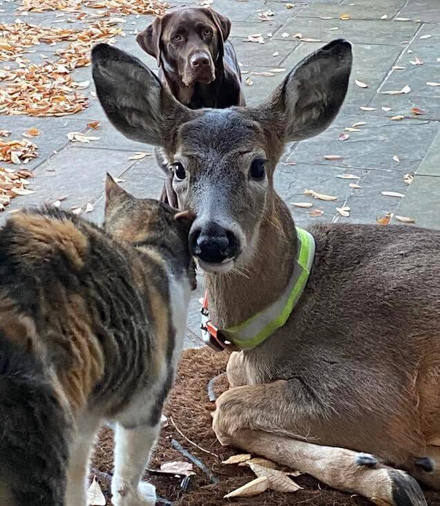 Buckaroo the rescue fawn with his cat and dog friends