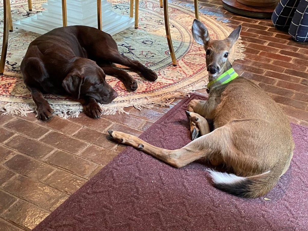 buckaroo the rescue deer fawn sitting on the floor with her dog friend