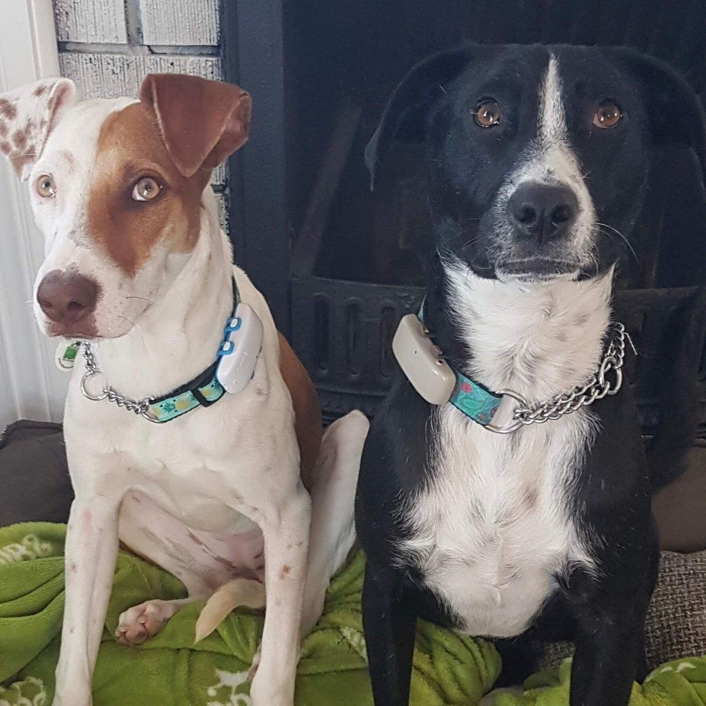 two DIBS rescue dogs wearing Tractive GPS dog trackers