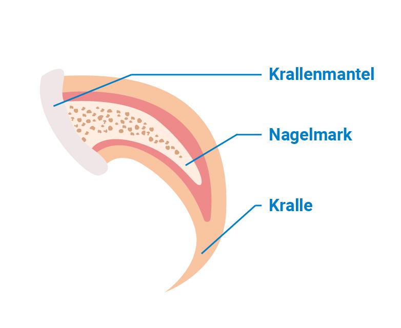 Abbildung der verschiedenen Teile der Katzenkralle