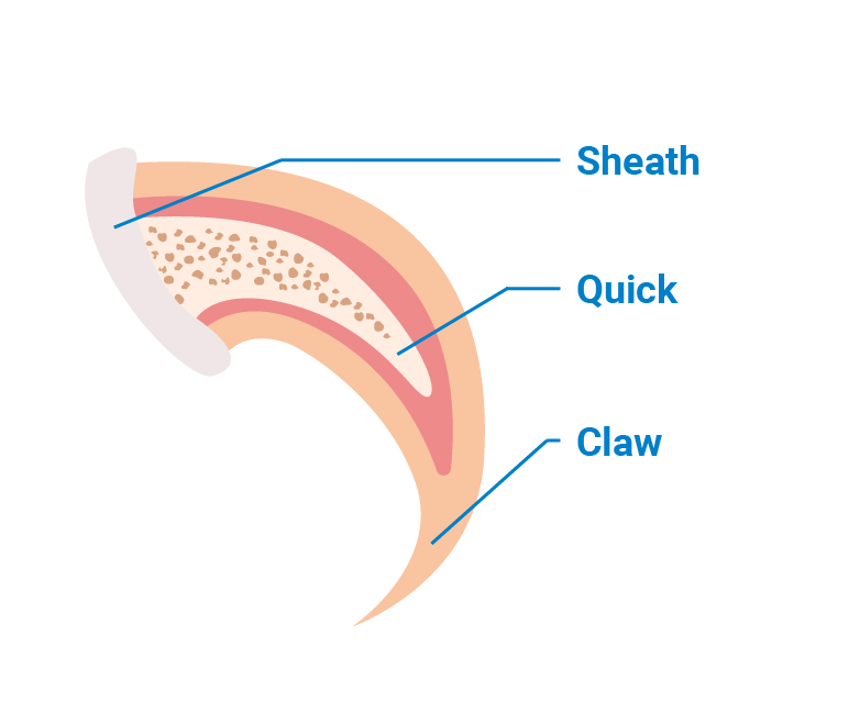 Cat nail trimming and cat claw anatomy illustration: sheath, quick and claw