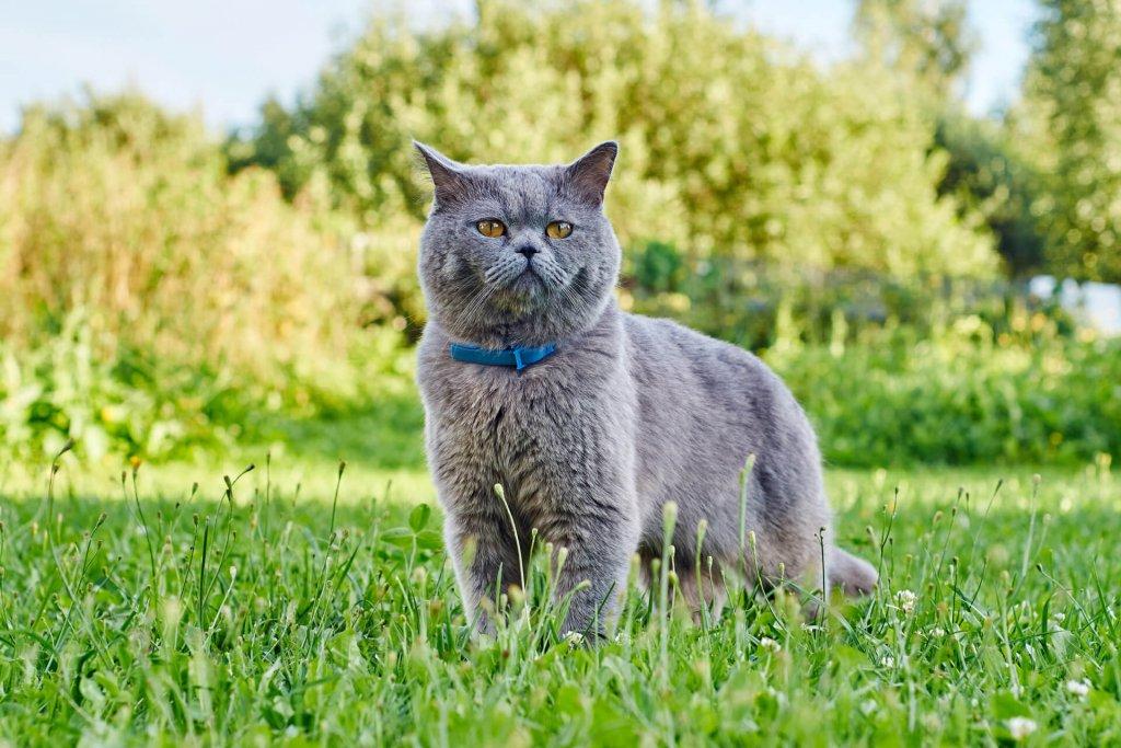 grey cat wearing blue collar outside in grass