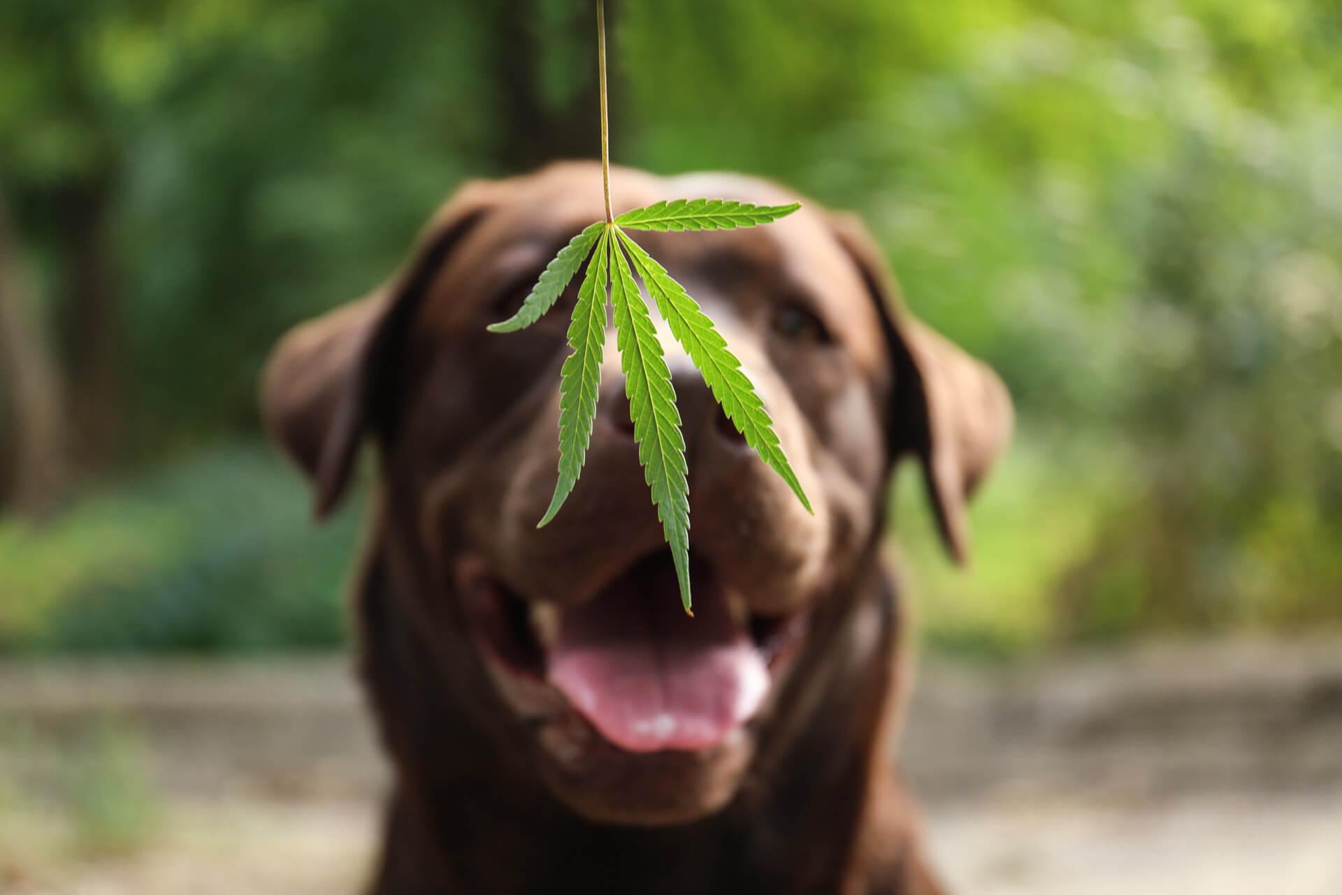 brown dog and cbd hemp leaf