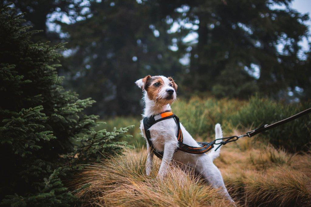 Kleiner, braun-weißer Hund mit Geschirr im Wald
